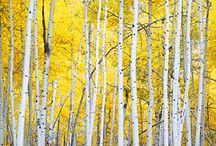 Birch and Aspen Trees