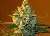 Marijuana Strains / a community of cannabis connoisseurs || www.weedist.com / by Weedist