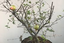 Bonsai Collection - Punica granatum / Life history of a pomegranate bonsai. Started from nursery stock in Jan 2017.