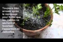 Céleri / Jardinage