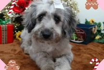 Aussiedoodle Puppies by Hearthside / Pictures of our sweet Aussiedoodle puppies that are growing up at Hearthside Meadows, or adult pictures of our Aussiedoodles - after they have gone to their new homes.  For more information, you will find us at:  www.hearthsidemeadow.com  :o)