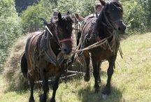 Le Castillon / On trouve le Castillon, nommé aussi le « cheval du Biros », principalement dans la région du Midi Pyrénées en France, notamment en Ariège (09).
