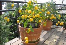 Fruta de vaso