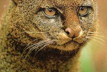 Feline rare