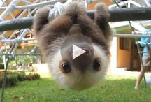 Adorable Sloths