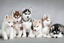 kutyák,huskyk