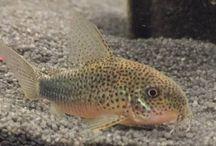Fish (Tropical) / Tropical / Freshwater Fish