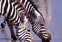 Zebras / by Painted and Patched