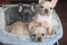 French Bull Dogs / I want a Frenchie so much ! Decided they deserved a Board of their own.