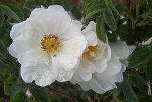 Rosiers Alba (rosa alba) / Arrivés d'Asie Mineure au début du XIVe siècle. Parfois nommés « Roses d'York ». Issus du Moyen Âge, rosiers extrêmement robustes, demandent peu d'entretien Issus de l'hybridation de la rose de Damas et l'églantier, ces rosiers se montrent vigoureux (1,80 m.). Les fleurs sont pâles, mais d'une grâce certaine et pour la plupart subtilement parfumées. Le feuillage vert – grisâtre fait superbement ressortir la carnation des fleurs.