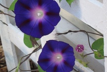 flowers...i have grown or like or would like to grow! / Flowers all kinds  Annuals-Perennials / by Richard Carter