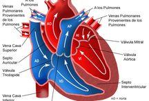 Anatomía del corazón / Anatomía y fisiología del corazón, así como también algunas fisiopatologías del mismo