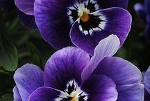 цветы - анютки