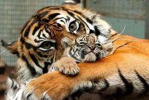 Animal / Tiger