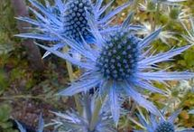 My Sea Holly