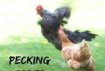 Raising Chickens