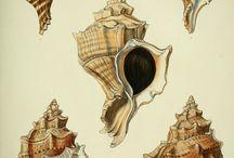Conchiglie -  Shells
