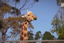 Zoo Tales / Telling stories about our animals, our people and zoo life - we're taking you around Auckland Zoo and beyond in our web series, Zoo Tales. / by Auckland Zoo