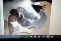 mes chats beautés  british shortair