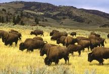 Animals   ( Bison )