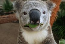 Cool Koalas / This is the pictures I collected when a sony selfie cam was put in the Koala enclosure at the zoo.. so this is when Koalas take selfies!