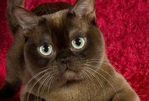 Bouncy Burmese Cats / Burmese Cats are beautiful.