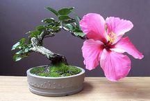 Bonsai / The wonderful litle tree