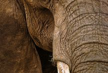 ELEPHANTS / Majestic creatures but can be amazing...