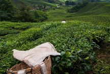 BOH tea plantations @ Cameron Highland