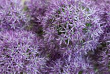 Alliums / A Selection of alliums as cut flowers at New Covent Garden Flower Market - May 2015