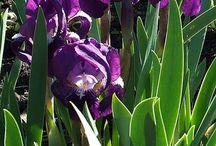 my iriss