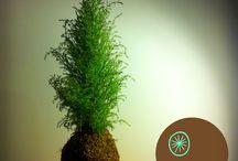 Kokedamas variedades / Plantas con diseño en bolas de musgo.