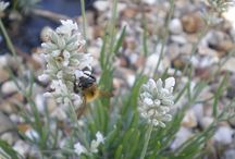Bees in the herb garden / The Herb Society has a long running interest in bringing bees into the garden. Encourage beneficial pollinators by growing flowering herbs.