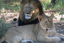African Wild Animals