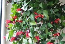 Lipstick plant - Aeschynanthus