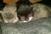 Ms. Posh new litter arrivals  on March 21 / Scottish fold kittens 3 new babies