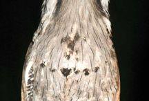 Bird: Potoo