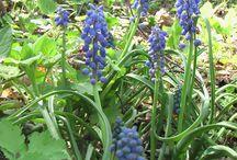 Культурные растения / Культурные растения растущие на нашей даче в деревне Красотино.