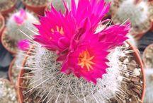 thelocactus / cactus, succulents, plants, pots, garden, giromagi