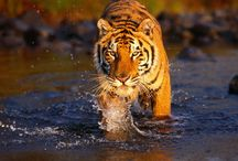 Wildlife and Adventure Tour /   Wildlife Adventures in India - Indian Tiger Wildlife Tours, Indian Adventure Travel Tourism, Nature Photography Tours in India, Wildlife Travel Guide in india, Wildlife Holidays Vacations in India,