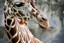 I ❤️ Giraffes