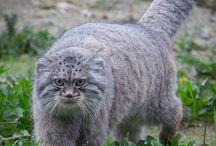 palla's cat