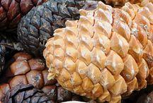 Kongler - pine cones