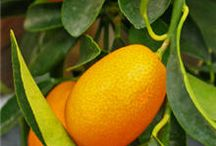 Krazy About Kumquats / by Lorilee Hull