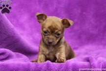 Chihuahuas / Photos of Chihuahuas.