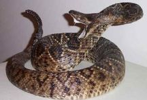 Top 11 Most Poisonous Snakes in the World / Be cautious out there, and keep an eye out for these Deadliest and Most Poisonous Snakes in the World.