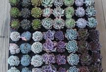 Sukulent ve teraryum çiçekler