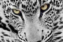 jachtluipaard / natuur