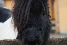 Pony CZ