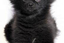 Pomeranians!!!! / by Patti Moser